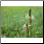 Plantain Blossom Photo by Philip Fritchey, M.H., N.D., CNHP All Rights Reserved - HISgoodherbs.com