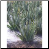 Aloe Vera Photo by Philip Fritchey, M.H., N.D., CNHP All Rights Reserved - HISgoodherbs.com