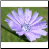 Chicory Photo by Philip Fritchey, M.H., N.D., CNHP All Rights Reserved - HISgoodherbs.com
