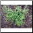 Cleavers Photo by Philip Fritchey, M.H., N.D., CNHP All Rights Reserved - HISgoodherbs.com