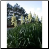 Yucca Photos by Philip Fritchey, M.H., N.D., CNHP All Rights Reserved - HISgoodherbs.com