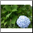 Blue Hydrangea Photo by Philip Fritchey, M.H., N.D., CNHP All Rights Reserved - HISgoodherbs.com
