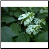 Woods Hydrangea Photo by Philip Fritchey, M.H., N.D., CNHP All Rights Reserved - HISgoodherbs.com