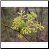 Sassafras Photo by Philip Fritchey, M.H., N.D., CNHP All Rights Reserved - HISgoodherbs.com